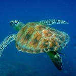 The House Reef turtle