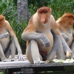 Probiscus Monkeys, with prominent noses and ...